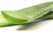 Aloe Vera Blätter mit Wassertropfen