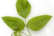 Rhus Toxicodendron Blatt