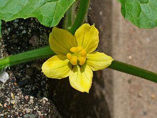 Blüte einer Koloquinte