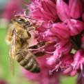 Honigbiene an einer Blüte