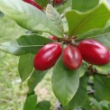 Miracle fruit - Wunderbeere