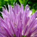 chives-7767_1920