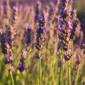 lavender-field-1521614_1920