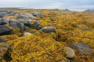 Isländisch Moos wird schon sehr lange als Mittel gegen Husten verwendet.